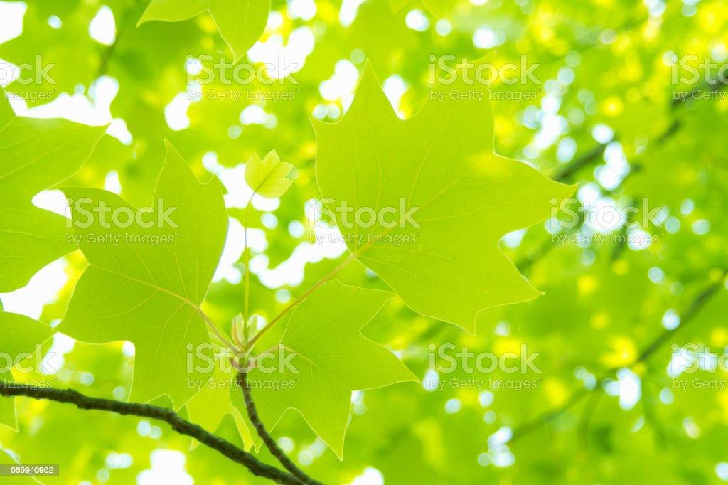 Liriodendron tulipifera foto stock royalty-free