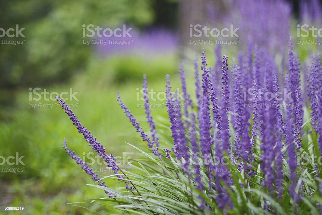 Liriope stock photo