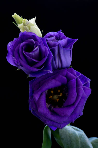 Lisianthus against a black background stock photo