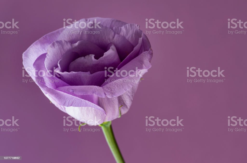 Lisianthus with copy space stock photo