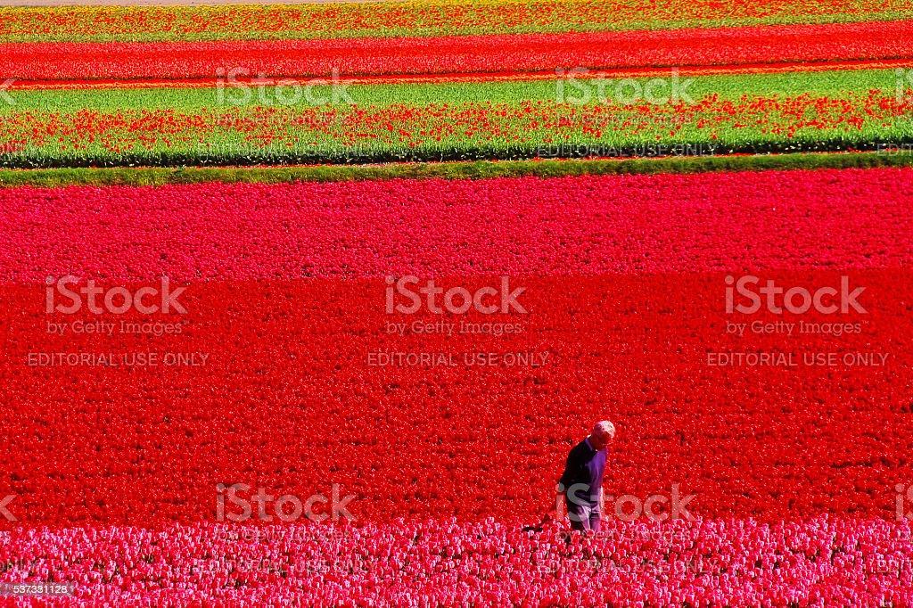 Lisse, Netherlands - May 05, 2016 - Keukenhof garden stock photo
