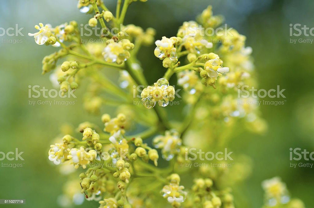 litchi flowers stock photo