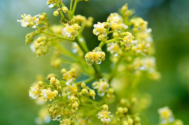 litchi flowers stock photo