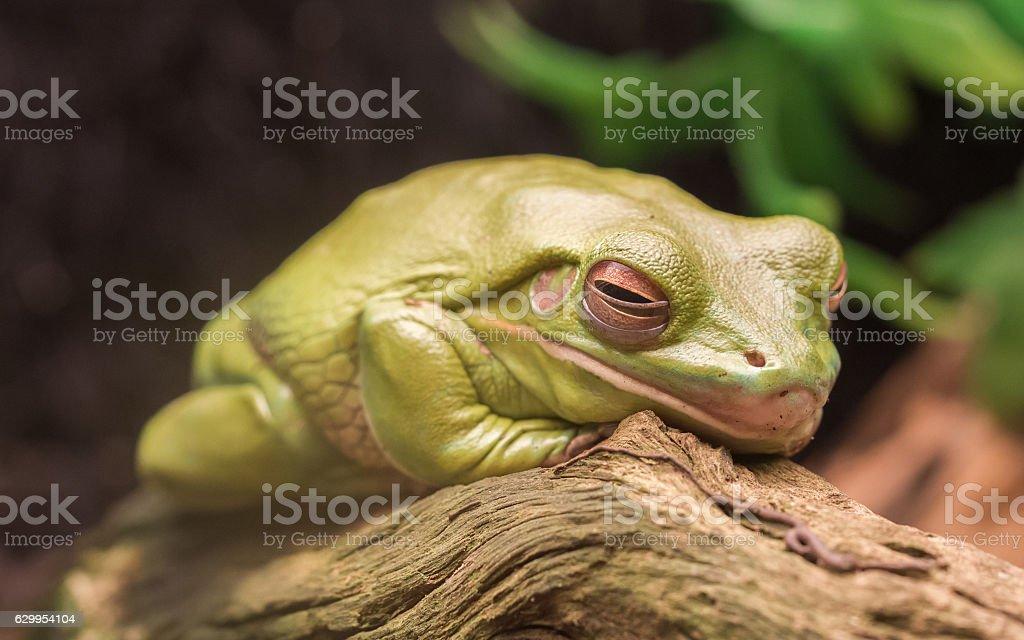 Litoria Caerulea, Australian green tree frog resting stock photo