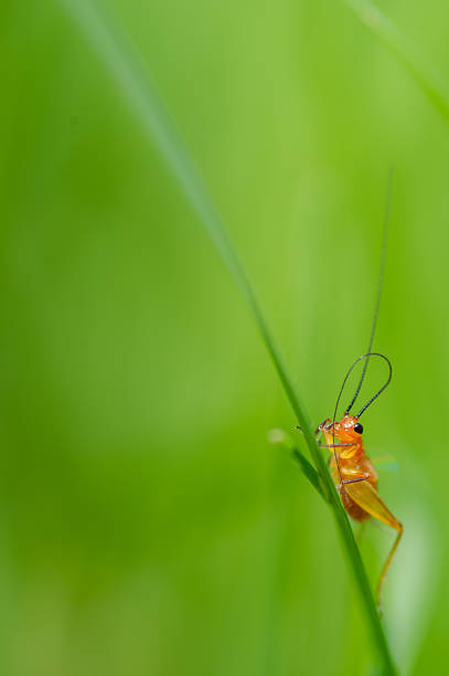 litte orange grasshopper - omg stock photos and pictures