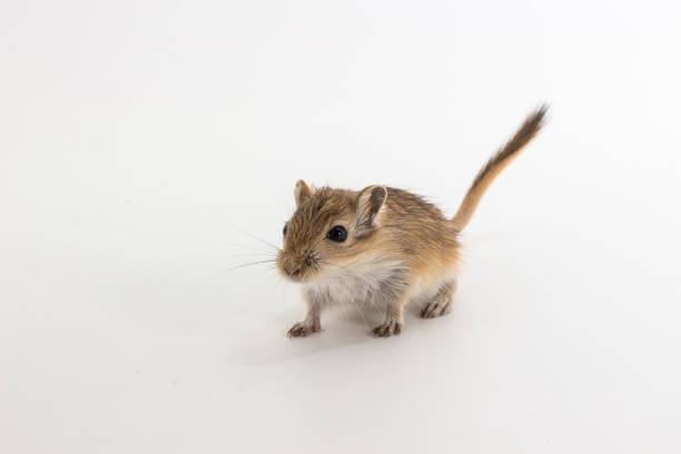 Litter Mongolian gerbil, Desert Rat stock photo