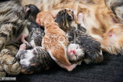 istock A litter of kittens. 872001548