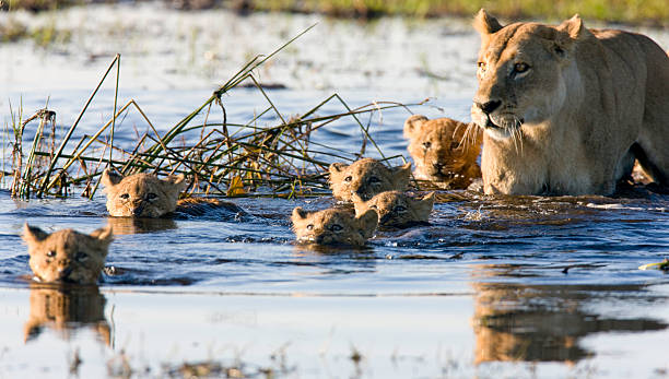 Litter of lion cubs swimming with their mother Taken in the Okavango, Botswana lion cub stock pictures, royalty-free photos & images