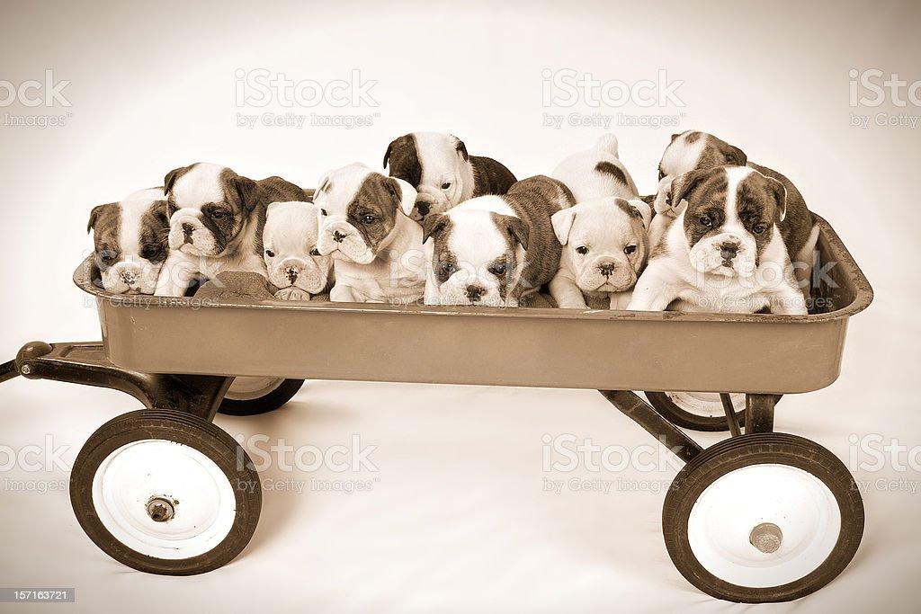 Litter of Nine English Bulldog Puppies in Wagon royalty-free stock photo