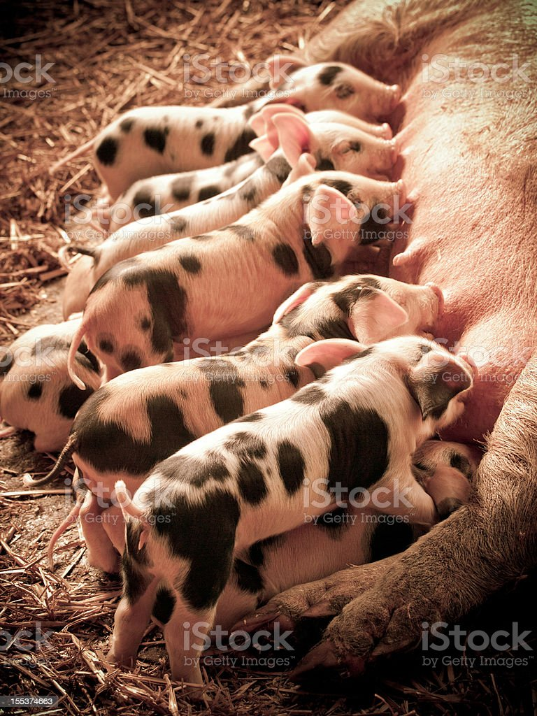 Litter of Piglets royalty-free stock photo