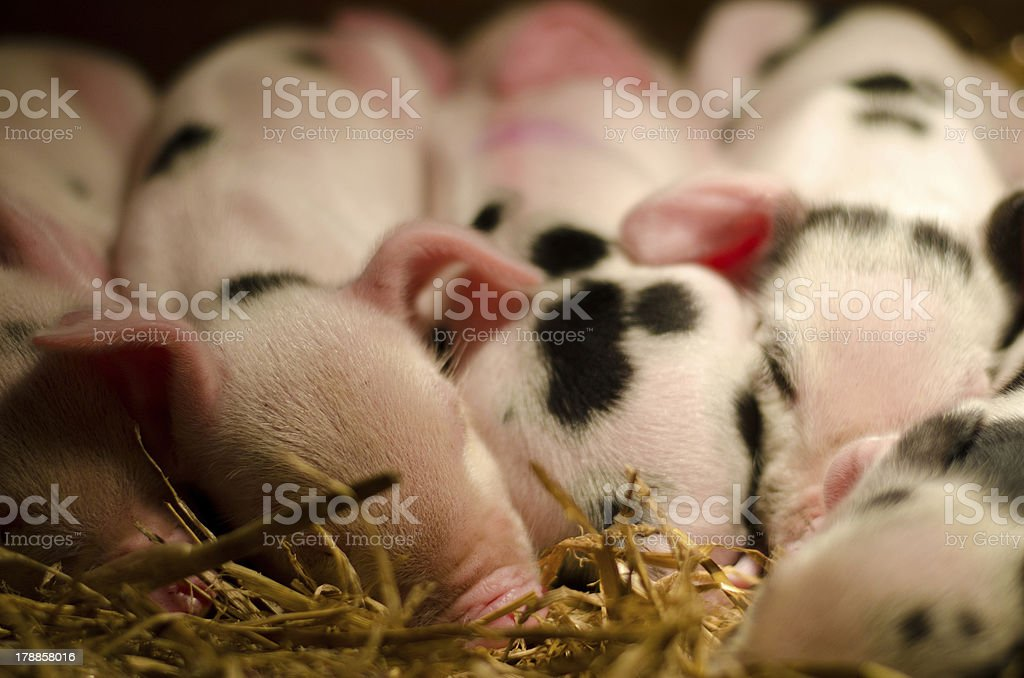 Litter of Piglets stock photo