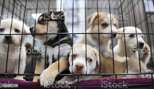 Litter of puppies in animal shelter australian shepherds picture id1000301206?b=1&k=6&m=1000301206&s=612x612&h=hvogfqpuyaikg01brsbyjy09lrt1 ajjajls ehaoho=
