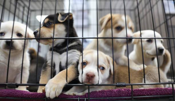 pups van pups in het dierenasiel. australische herders - kooi stockfoto's en -beelden