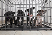 Litter of puppies in animal shelter. Catahoula Leopard Dog, Pit Bull Terrier mixed dogs