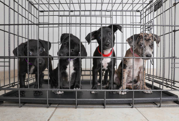 Litter of puppies in animal shelter. Catahoula Leopard Dog, Pit Bull Terrier mixed dogs stock photo