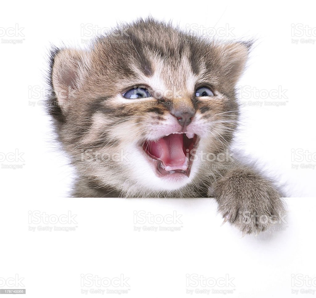 Little 2 Weeks Old Kitten Stock Photo Download Image Now Istock