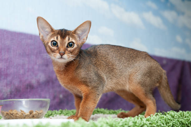 Little abyssinian kitten in front of a bowl of food looks at the picture id1157782975?b=1&k=6&m=1157782975&s=612x612&w=0&h=1levxmmgxrmhioevjt1hzz7wz9pnrget4mmoxmg2rn4=
