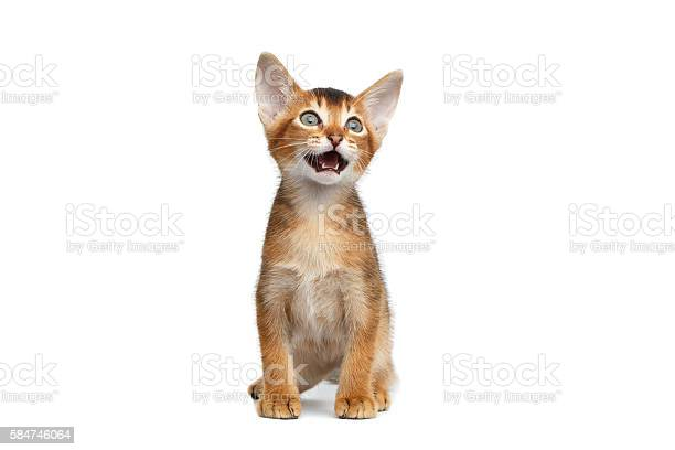 Little abyssinian kitty meowing on isolated white background picture id584746064?b=1&k=6&m=584746064&s=612x612&h=zquy4i6a0qzzlhx6k4wbvlseg owcltyd46jwgmgup8=