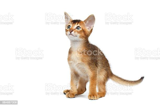 Little abyssinian kitty sitting and curious looks isolated white picture id584887008?b=1&k=6&m=584887008&s=612x612&h=jxjsmbdo1 xth5vwmgucvomlfbgdmcdbwswe5kzlbny=