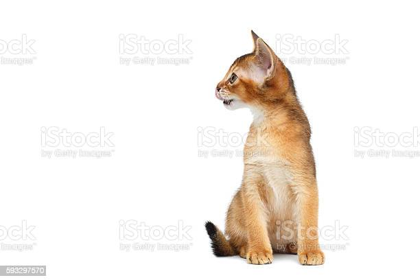 Little abyssinian kitty sitting on isolated white background picture id593297570?b=1&k=6&m=593297570&s=612x612&h=lk3fvp5fii5dnlw2xz76o75verfr2i2rwqqpvqtfzsg=