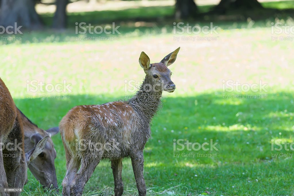 Little Adorable Fawn Concentrated On Forest Sounds Stock