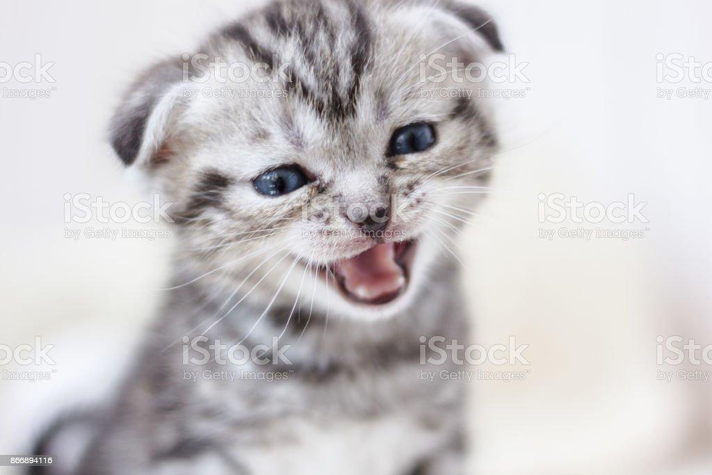 Little adorable kitten meowing stock photo