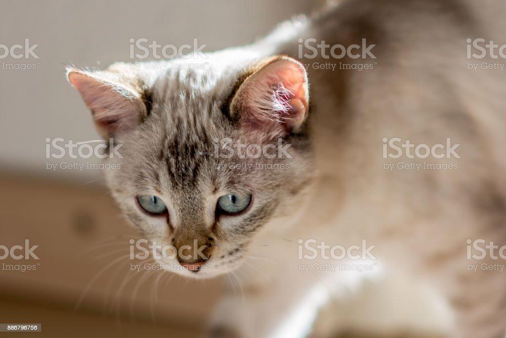 Pequeña gata común casi blanco - foto de stock