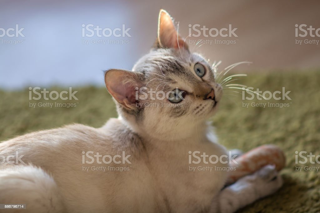 Poco gatito hembra casi blanca mirando curiosamente - foto de stock