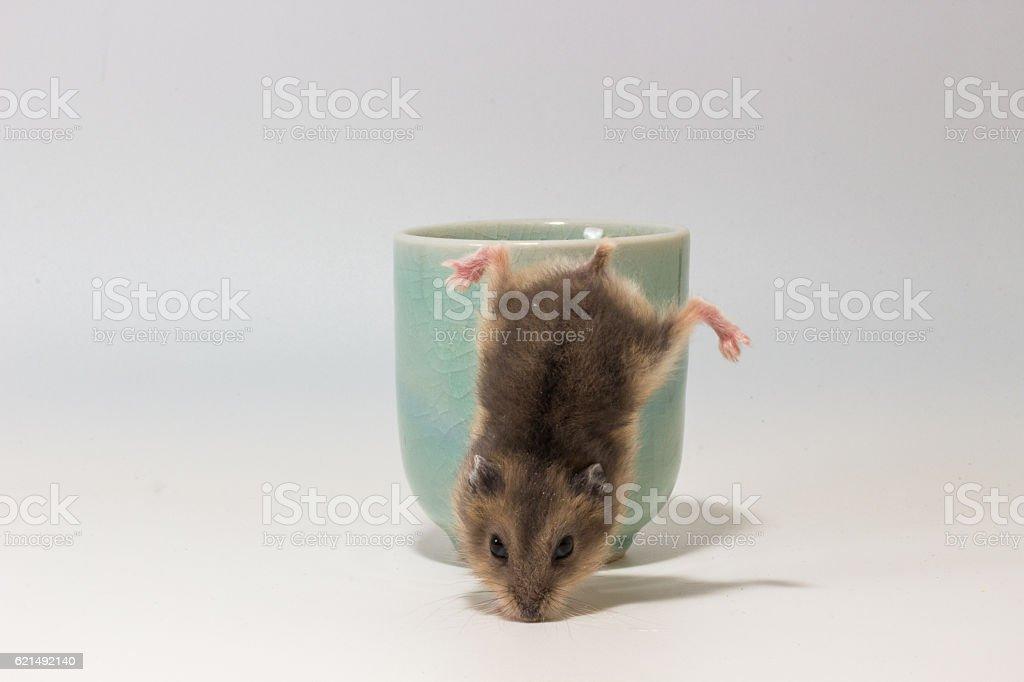 Little and Cute Hamster photo libre de droits