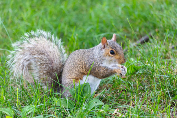 A little and cute squirrel - foto stock