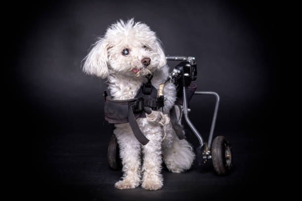 little and old white dog in wheelchair or cart sitting and posing on black backdrop. stock photo