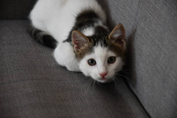 Little and sweet cat playing picture id1204822243?b=1&k=6&m=1204822243&s=612x612&w=0&h=ugm2x fmq3kewwytegq8ofdnqlmmgtlb26wkik9kehq=