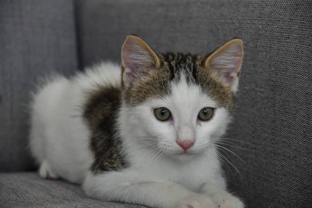 Little and sweet cat playing picture id1204822585?b=1&k=6&m=1204822585&s=612x612&w=0&h=6xrgb brafupkxalt4s3 yt8vaelosepajwcihy6to0=