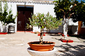 Olive bonsai in a pot, in an Andalusian outdoor patio