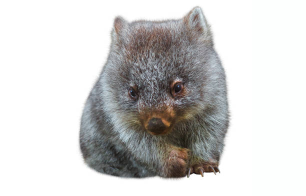 little australian wombat - wombat stock photos and pictures