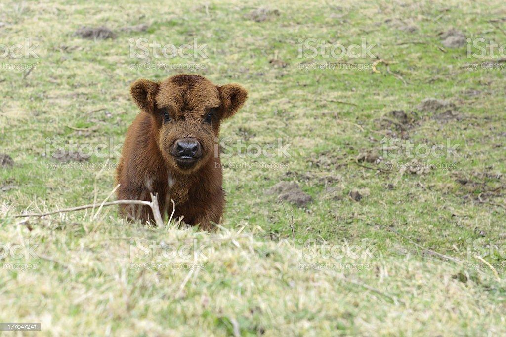 Kleines Baby Ein Highlander Kuh Kalb Stock-Fotografie und mehr ...
