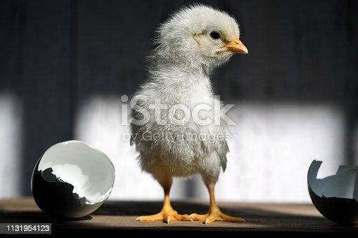Little baby chicken