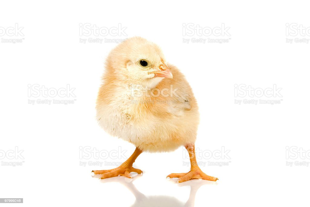 little baby chicken royalty-free stock photo