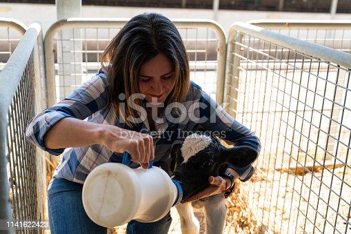 Little baby cow feeding from milk bottle in farm.