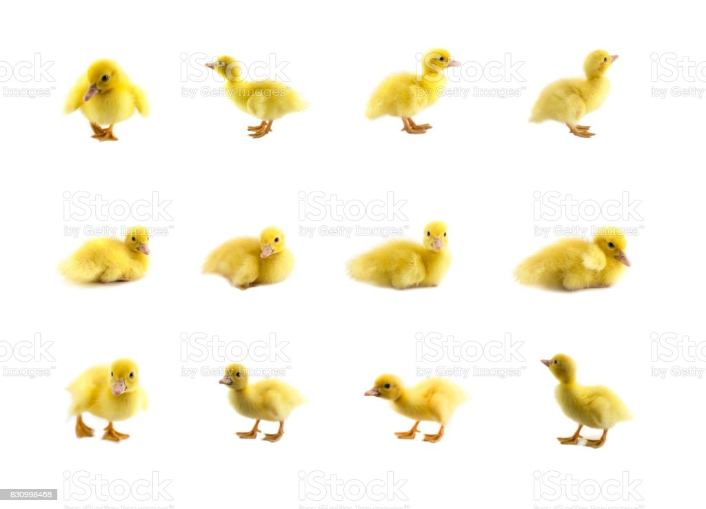 little baby duck stock photo
