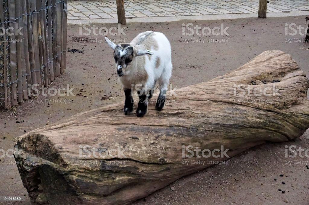 A little baby goat climbing a trunk stock photo