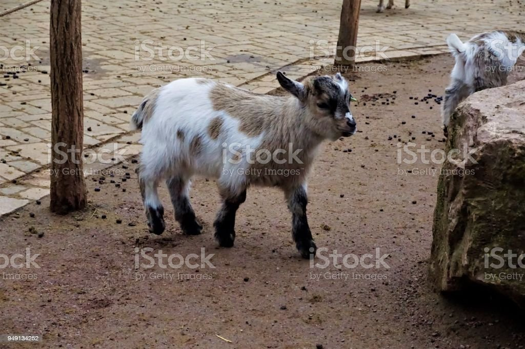 Little baby goat in the zoo stock photo