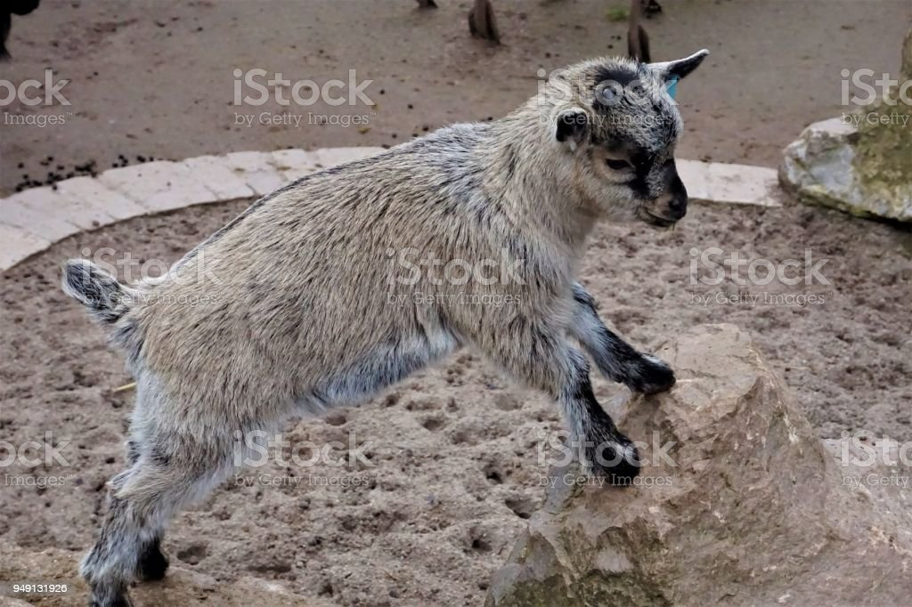 Little baby goat standing on rock stock photo