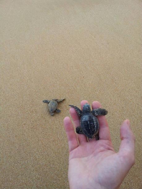 ein kleines baby meer unechte karettschildkröte (caretta carretta) hält einen touristischen mann am ufer des meeres zu schützen, - babyschildkröten stock-fotos und bilder