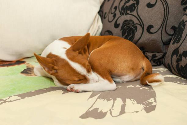 Resultado de imagen para basenji sleeping