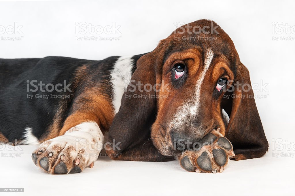 Little basset hound pup. stock photo
