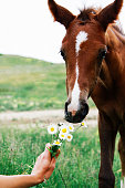 bay foal, smelling a bunch of ryashes, wants to eat a bunch of daisies, spring time