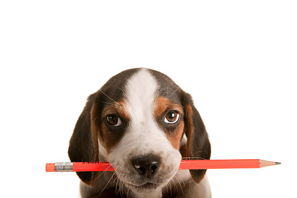Little beagle picture id155378061?b=1&k=6&m=155378061&s=612x612&w=0&h=nj7zodqoxvtwcwbvll6jww5cahzkpvvdkqvtto4qleo=