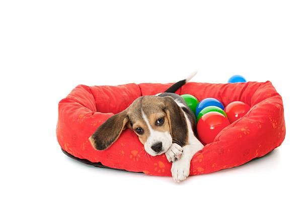 Little beagle picture id183778600?b=1&k=6&m=183778600&s=612x612&w=0&h=gbdiizdndhzjlowwgkjxgx4in8oh6wixxnlnla22gzy=
