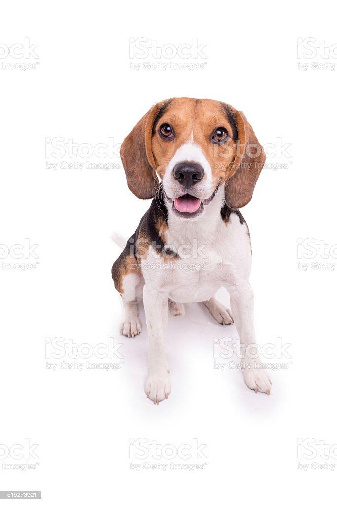 Little Beagle sitting, isolated stock photo